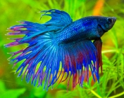 Петушок Корона (Crowntail Betta)